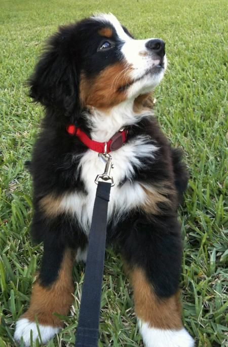 Ikelos the Bernese Mountain Dog