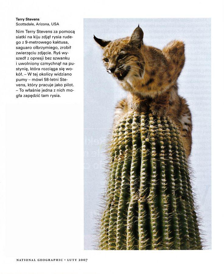 Ryś na kaktusie