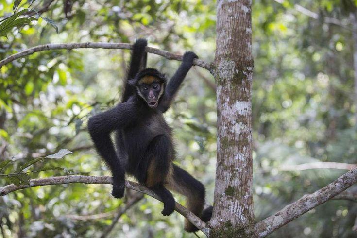 L'atèle (Ateles) ou singe-araignée dont il existe 6 espèces, appartient à un genre de primates qui évoluent essentiellement en mode suspensif dans la canopée. C'est-à-dire qu'ils se balancent...