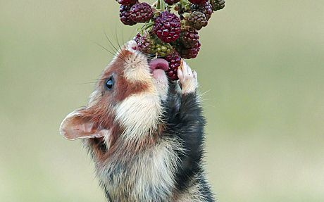 hamster jump onto the berries tasty snackThese hilarious snapshots show an adorable but greedy little wild hamster furiously stuffing his chubby cheeks with all the blackberries he can fit in. The hungry hamster was so eager to make sure he got every last berry that he resorted to hamster acrobatics, hilariously swinging from the branch as he picked off the juicy berries one by one. The adorable photos of the rare wild
