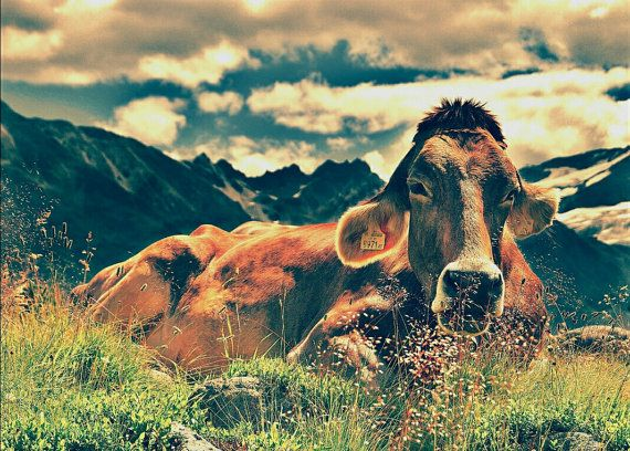 Digital download  jpeg file of cow in mountain side by MikesMarket