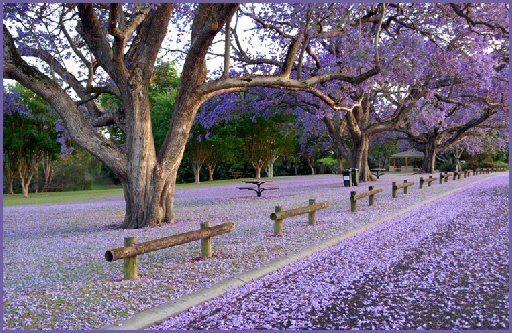 Jacarandás. Buenos Aires se viste de violeta. ideaspanish.wix.com/idea