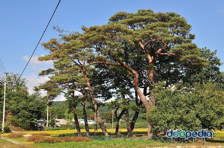 청구리 소나무