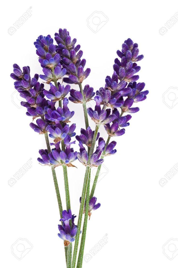 lavender flower: lavender flower isolated on white ...  lavender flower...