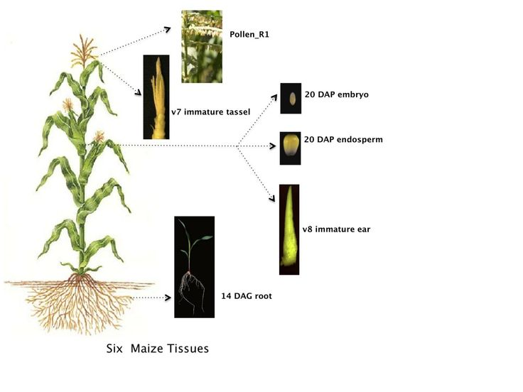 'Amazing protein diversity' is discovered in the maize plant