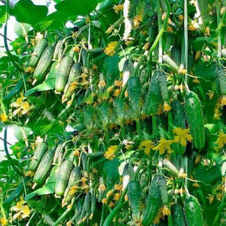 Семена огурца 100 шт. японский длинный огурец семена овощных культур для дома NO-GMO Семена Овощи для дома и сада посадки
