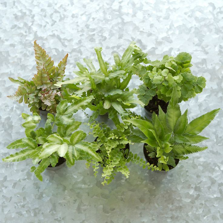 """Hand-selected especially for terrain, this set of petite ferns makes it easy to fill any terrarium. Chosen for their light and airy textures, these tropical plants will thrive in both open air and closed vessels.- A terrain exclusive- Set of 6 ferns- Plant selection will vary based on seasonal availability; may include pteris, button, autumn, and maidenhair ferns- Best growth in indirect light and moist soil- USA2""""HOnline Exclusive"""