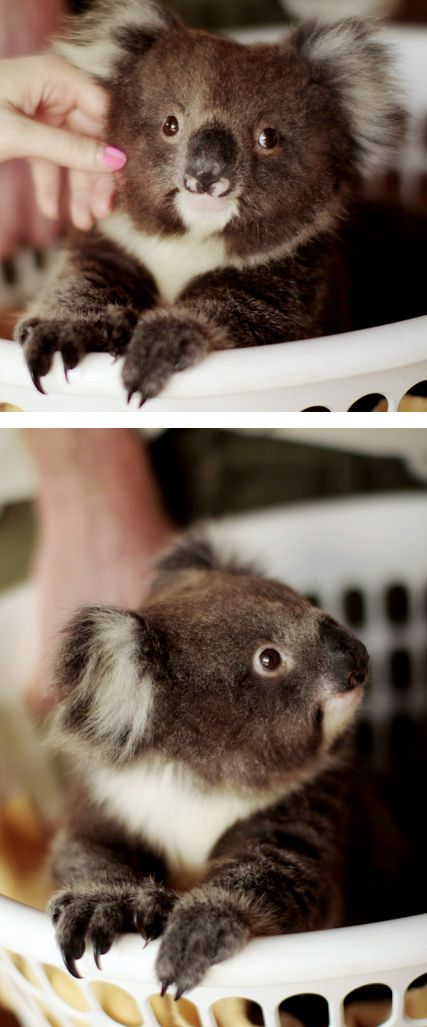 (KO) Koala. Not a bear. Very sweet and furry. Want to hold a baby koala and hug her and kiss her little head. So sweet.