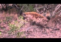 Leopard vs Hyena at Mala Mala