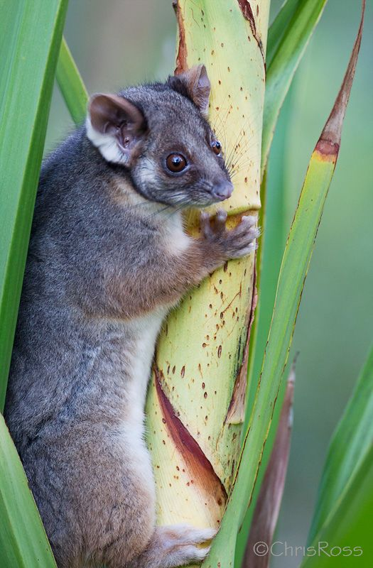 Common Ringtail Possum(Pseudocheirus peregrinus) photographed by Chris Ross at Helensburgh, NSW, Australia.