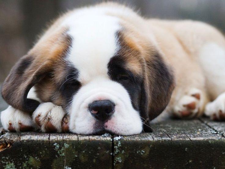 St. Bernard - Puppy Moose  Max's friend...