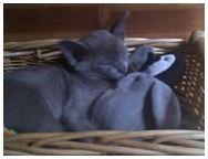 Kelpie Burmese kittens for sale