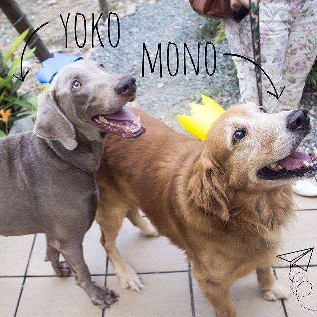 Yoko y Mono son dos hermanos super activos que aman salir de paseo con su humano ⛵️ Estaban felices en el cumpleaños del Galgo porque compartieron con otros perros y porque probaron una torta deliciosa! ❤️ #PerroFeliz #chachayelgalgo #cumpleañosdelgalgo #pasteleriacanina #paletasparaperros #amorperruno #mascotas #peluditos #alimentacioncanina #tortasparaperros #cumpleañosperruno #cumpleañosparaperros #YoCreoEnCali #cali #calico #colombia #weimaraner #bracodeweimar #goldenretriever #golden