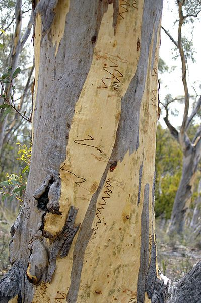 Scribbly Gum Tree. ** I love these squiggly gum trees! I can't resist taking photos of the intricate lines. I've never actually seen them being made though.