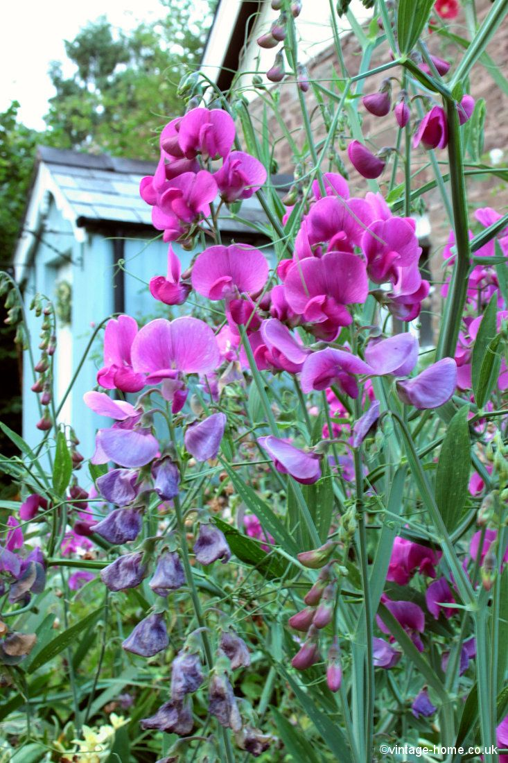 Everlasting Sweet Pea // Yes yes yes! I love these, and I want them to run wild! (So far a few of the seeds have got going, but I want MORE!  (AMF)
