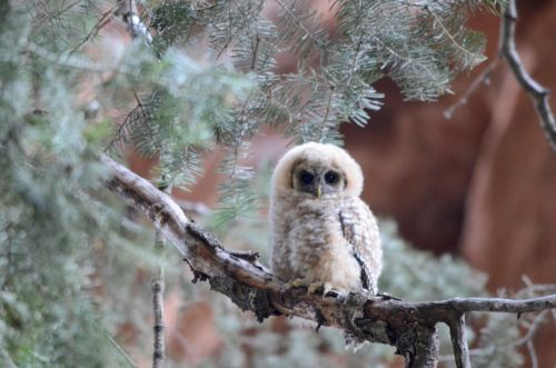 americasgreatoutdoors:      Yesterday was National Wildlife Day, a dedicated to raising awareness for animals and conservation efforts. Pictured here is an adorable Mexican Spotted owlet found at Zion National Park in Utah. Zion is critical habitat for the Mexican spotted owl, a species classified as threatened on the federal level. National Park Service photo.