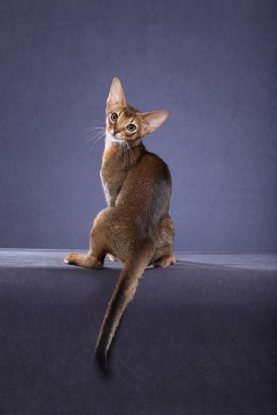 Abyssinians are highly intelligent, affectionate & active cats. They they love people & like to be included in everyday family life. Abyssinian cats often enjoy a game of fetch with their human companions. They are not an overly talkative cat & have a quiet voice.