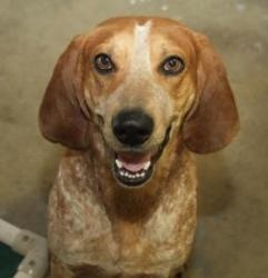 Vito (2 months behind bars) is an adoptable English Coonhound Dog in Bowling Green, KY. Intake Date:10/13 Available Date: 10/18 Age: 2 yrs 2 mo Weight: 55 lbs Intake Reason:Stray  ****Cat testing...