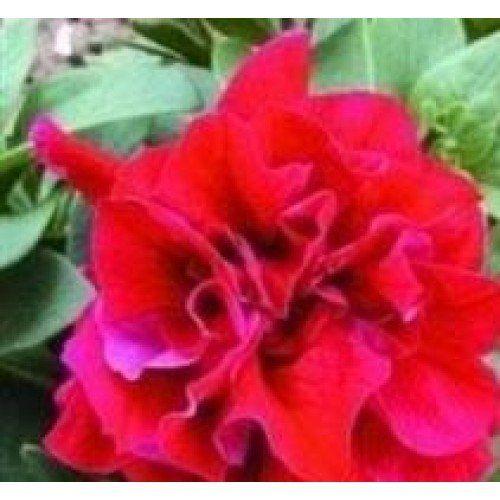 Petunia duo red | Лора Алекс <b>Цветущий сад</b> | Petunias, Flower ...