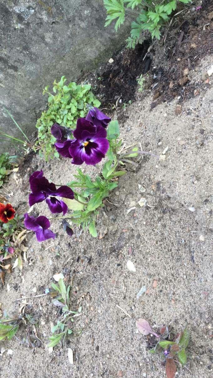 Violka zahradní latinsky= viola×wittrockyana💐 místo focení: venku s kamarádkou v ulici Zelnice💞