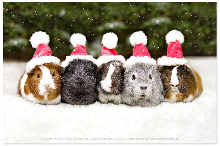 MERRY CHRISTMAS! From the cavies at the guinea pig calendar company! #MerryChristmas #nationaldressupyourpetday