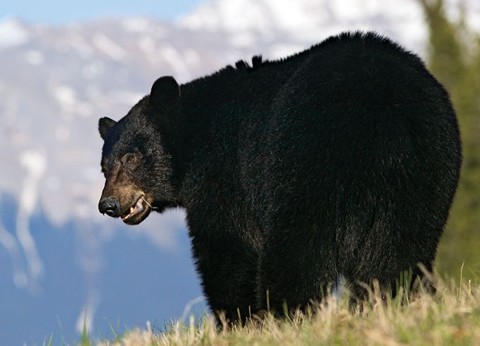 Nine Tips for Spot-and-Stalk Black Bear Hunting --Follow this nine-point campaign to find, stalk, and tag a big fall bruin. --Article by Michael R. Shea
