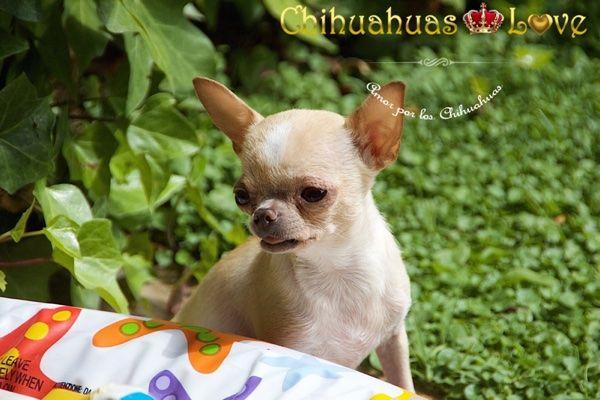 Chihuahuas Love - El Mérito de Escribir Este Blog de Chihuahuas. Escribir Raza Chihuahua.