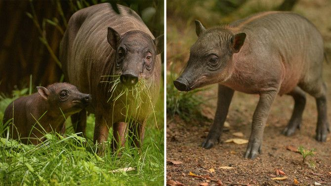 """Very few people in the world, if any, will have ever witnessed a babirusa give birth,"" said the zoo's director."