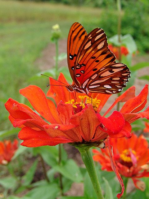 Orange on Orange      What luck to have befriended this beautiful butterfly as it rested upon the orange flower.