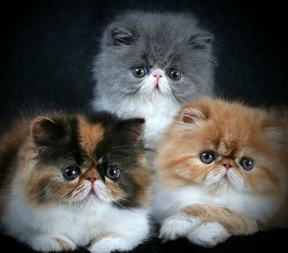 pisici-persane.jpg (570×500)