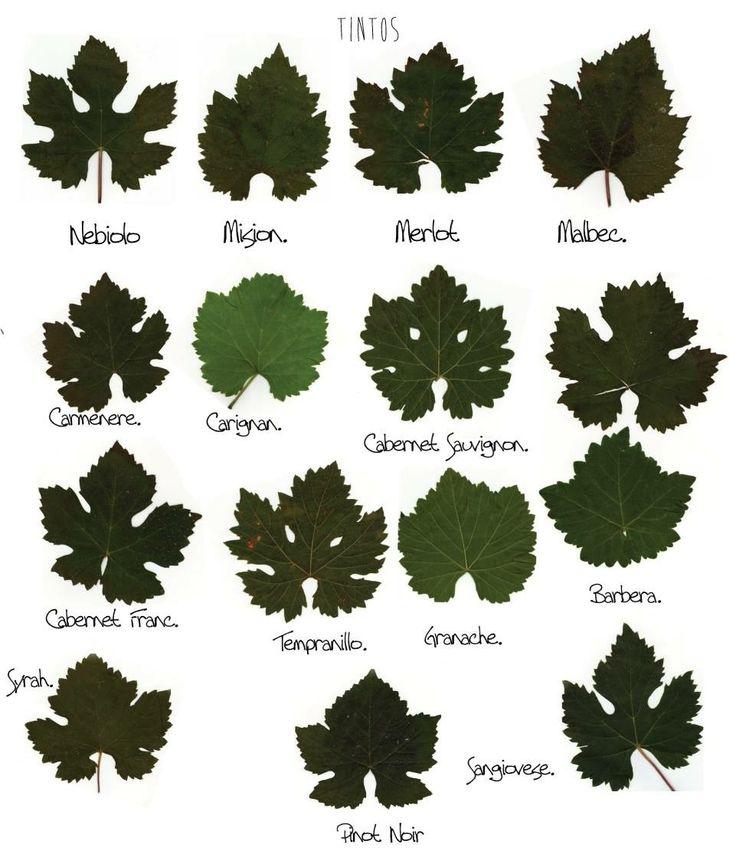 Vine leaf identification. | Wine 101 | Pinterest | Drink ...