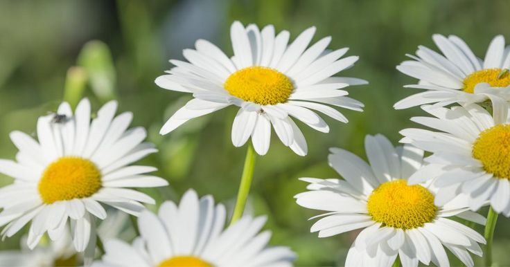 Margerite - Pflanzen, Pflege und Tipps - Mein schöner Garten