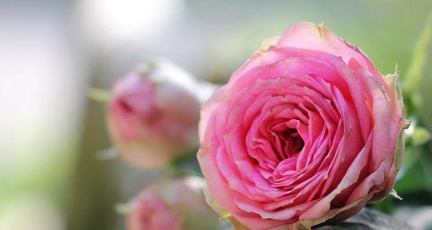 أجمل صور ورود جميلة جدا عالية الجودة Hd Beautiful Rose Photos Rose Flowers