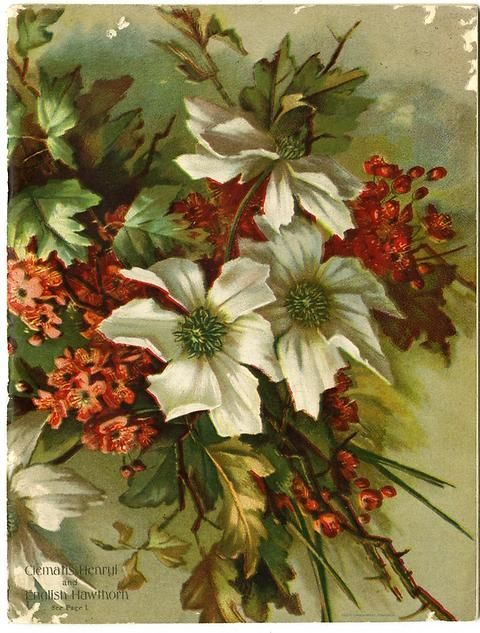 "The design has been flipped on Emma V. White's 1915 catalog. The text has been moved to the back cover. The front cover hosts only an image of a rugged bouquet of Clematis Henryi and English Hawthorn.  Emma V. White called herself the ""North Star Seedswoman"" and had her first mailing in 1896. She produced catalogs with colorful, hand painted covers aimed at woman customers."