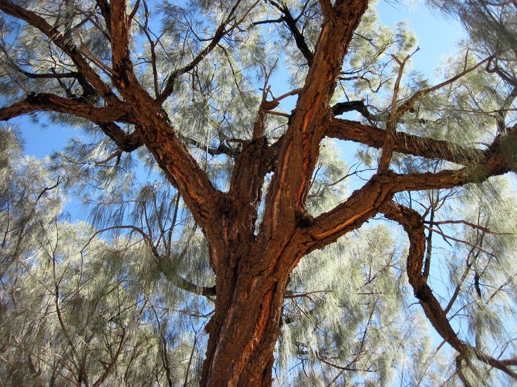 Desert Oak, Australia 2010