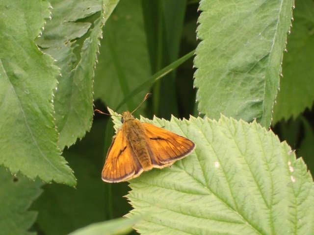 Червонец непарный (лат. Lycaena dispar) — дневная бабочка из семейства голубянок.