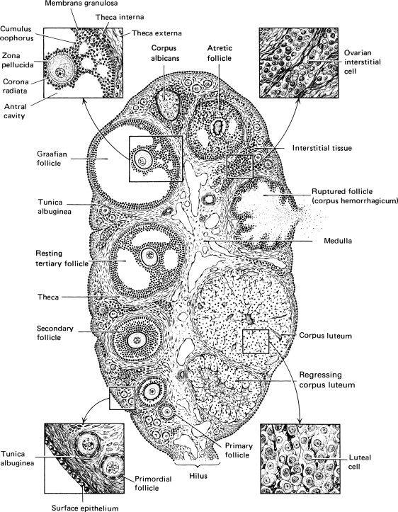 Ovarian follicle - ScienceDirect Topics
