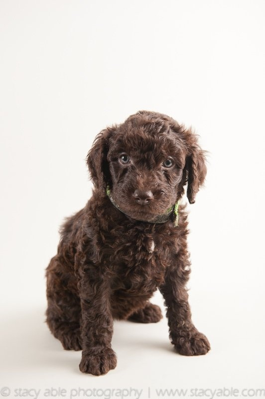 Barbet (French Water Dog) 6 week old puppy by Stacy Able Photography