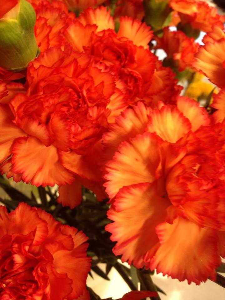 Rød/orange nellik - Dianthus