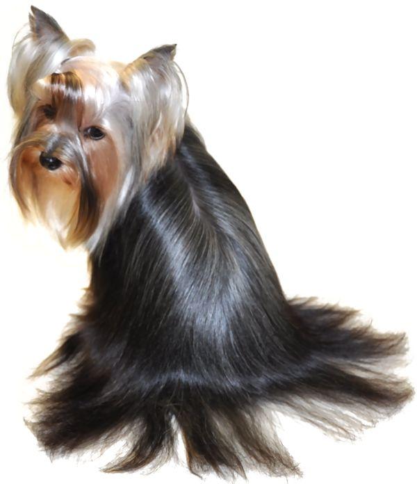 Yorkie Hairstyles Yorkies