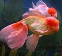goldfish care feeding