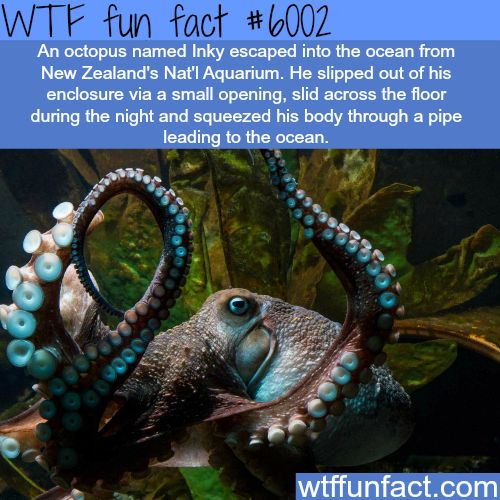 Inky the octopus - Escaped from the aquarium. Should be an animated movie.