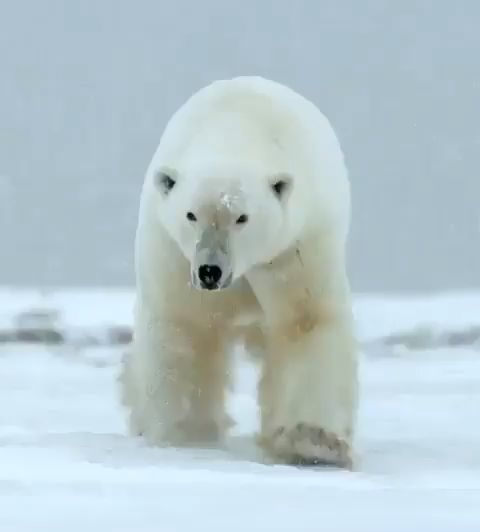 Rare and endangered polar bear   – Tier Video Mucic