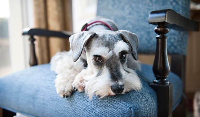 Everything you want to know about Miniature Schnauzers including grooming, training, health problems, history, adoption, finding good breeder and more.