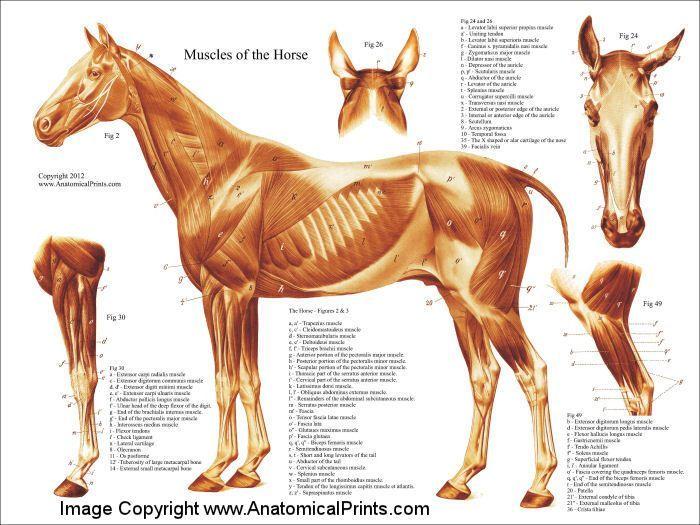 219 besten Equine Anatomy Bilder auf Pinterest   Pferd Anatomie ...