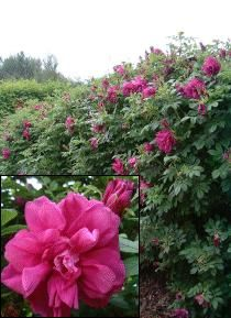 ROSE, ROSERAIE DE L'HAY (Rosa rugosa Roseraie de L'Hay) One of the finest rugosa roses for hedging with its dense habit and vigorous growth. It has tough, healthy, wrinkled, pea-green foliage and bears large cupped to flat, 4.5 inch (11.5cm) wide, velvety, rich wine-purple double flowers which fill the air with a wonderful fragrance from June to autumn. Deciduous. HEDGE Trim in winter if necessary. For hedges 5-6ft (1.5-1.8m). Plant 12-18ins (30-45cm) apart.