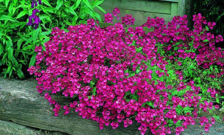 Produkter | Sesongplanter Diascia   Lettstelt hengeplante med gammelrosa små blomster. Trives godt på skygge utsatte steder. Velegnet i kasser og ampler.
