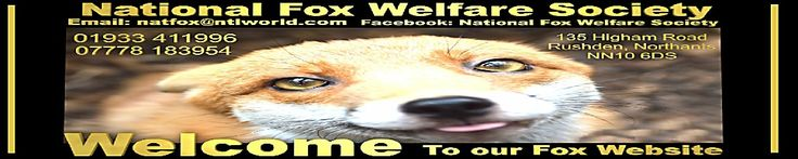 National Fox Welfare Society: Free Treatment For Mange in Foxes | Fox Information | Injured Fox | Sick Fox | Poorly Fox |