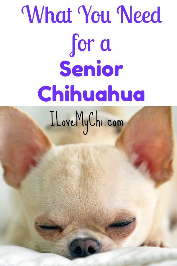 What You Need For A Senior Chihuahua Cute Chihuahua Baby