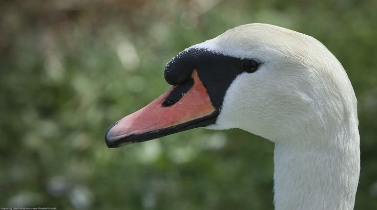 Swans have their own dignity of themselves. It's easy to like such a self proven attitude.